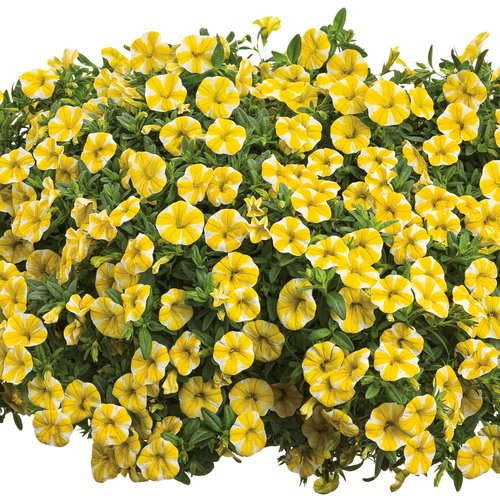 4 1 2 fancy annuals wholesale bedding plants hybels inc - Calibrachoa superbells ...